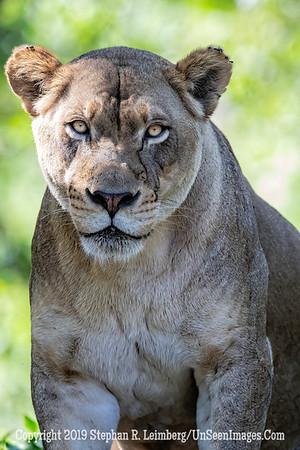 Mrs Lion King Copyright 2019 Steve Leimberg UnSeenImages Com _A6I1395