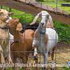Goat my Goat - Copyright 2015 Steve Leimberg - UnSeenImages Com _H1R2926