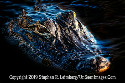 Baby Gator Copyright 2019 Steve Leimberg UnSeenImages Com _A6I8280