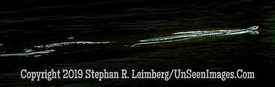 Water Snake - Copyright 2019 Steve Leimberg UnSeenImages Com _A6I5561