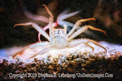 Warrior Crab 2 - Copyright 2014 Steve Leimberg - UnSeenImages Com _H1R2417