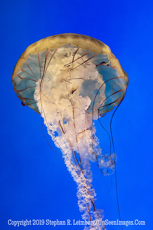 Jelly Umbrella - Copyright 2014 Steve Leimberg - UnSeenImages Com _H1R1984