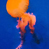 Jelly Walker PAINTING - Copyright 2014 Steve Leimberg - UnSeenImages Com _H1R2028
