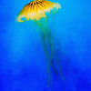 Yellow Jelly Fish x- Copyright 2014 Steve Leimberg - UnSeenImages Com _H1R2260