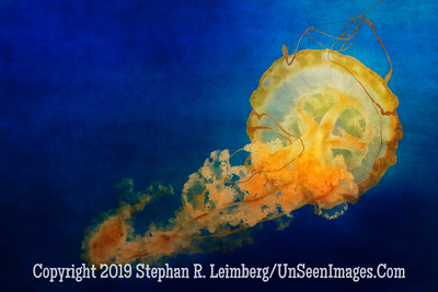 Jelly Fish Bathing Beauty - Copyright 2014 Steve Leimberg - UnSeenImages Com _H1R1981