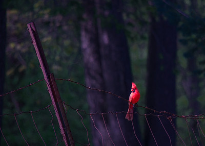 Cardinal - on the fence