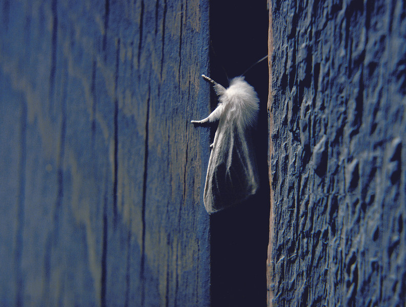 In Between Moth