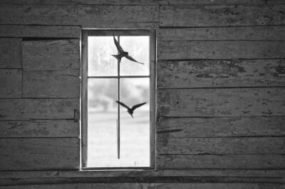 Swallows - in our barn - 02