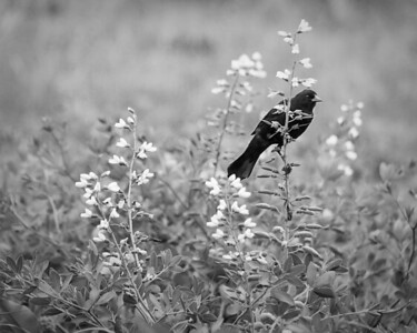 Red-winged blackbird - in the meadow