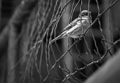 Sparrow - on the fence