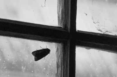 Moth - in our granary window
