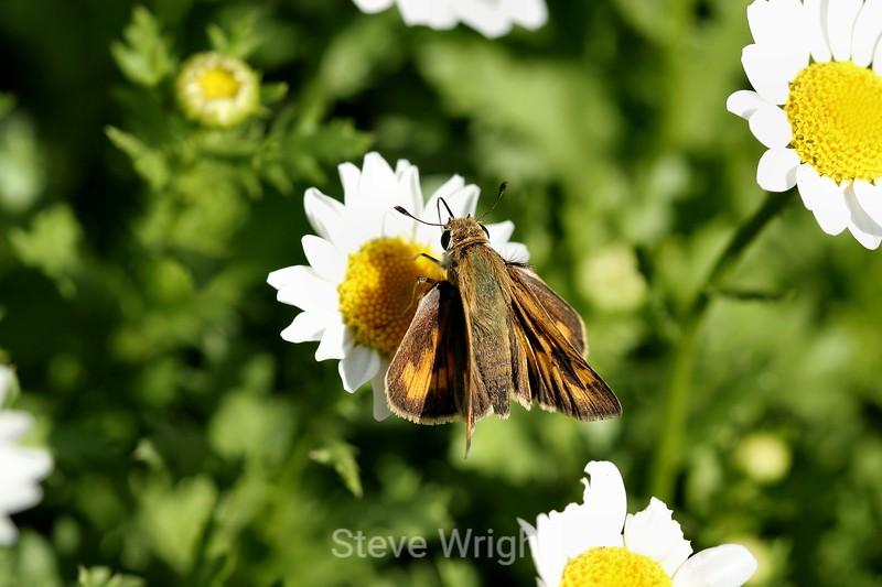 Chrysanthemum (169) D