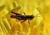 Grasshopper (6) D