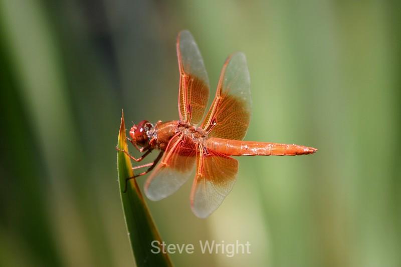 Dragonfly - Japanese Tea Garden (5) D