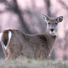 Deer : To see these and more recent Deer click here