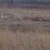 Whitetail Deer <br /> Two Pecan Trail <br /> Riverlands Migratory Bird Sanctuary