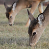 Whitetail Deer  <br /> Thousand Hills State Park <br /> Adair County<br /> Missouri