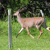 Whitetail Deer <br /> Point Lookout State Park <br /> St. Mary's County, Maryland