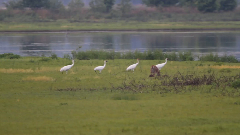 "Whooping Cranes  and Whitetail Deer  <br> Pool 14 <br> Eagle Bluffs Conservation Area <br> 2016-05-20 <br>  <span class=""noShowSmart""> <a href=""/MyKeywords/Bird-Videos/n-gF9bt/i-WK2g9Dg/A""> <span style=""color:yellow"">Click here to open video in lightbox/full screen</span></a> </span>  <span class=""noShowGallery""> <a href=""/Birds/2016-Birding/Birding-2016-May/2016-05-20-Eagle-Bluffs-CA/i-WK2g9Dg/A""> <span style=""color:yellow"">Click here to open video in lightbox/full screen</span></a> </span>"
