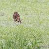 Whitetail Deer  <br /> Eagle Bluffs Conservation Area