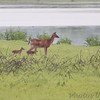 Whitetail Deer  <br /> Pool 14 <br /> Eagle Bluffs Conservation Area