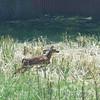 Whitetail Deer <br /> Just after going east under hwy bridge <br /> Ferguson Lane <br /> Bridgeton, MO