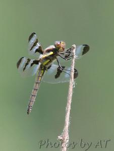 Twelve-spotted Skimmer Marais Temps Clair CA