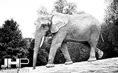 Elephants Of Toronto #13 Print ELT-477