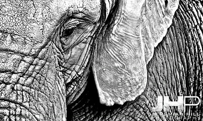 Elephants Of Toronto #10 Print ELT-468V2