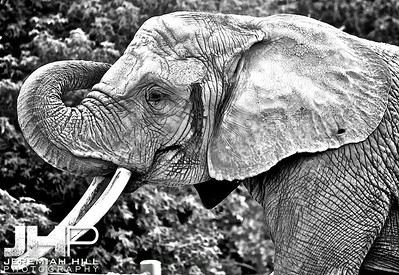 Elephants Of Toronto #2 Print ELT-444V2