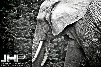 Elephants Of Toronto #14 Print ELT-483