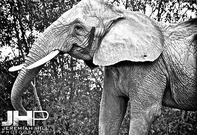 Elephants Of Toronto #1 Print ELT-436