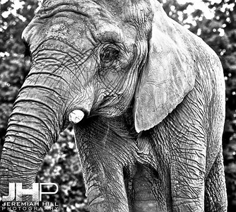 Elephants Of Toronto #6 Print ELT-454