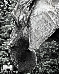 Elephants Of Toronto #7 Print ELT-457