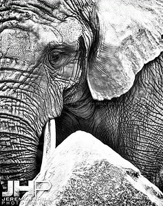 Elephants Of Toronto #4 Print ELT-448V2