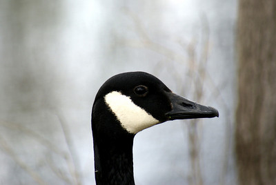 Black eyed goose