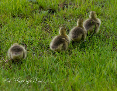 Geese Train: Thank you all for all your fantastic comments on my daughter's shot yesterday! You made my day!