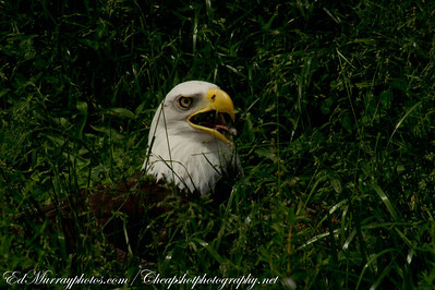 "Taking a Breather: A bald eagle was seeking refuge in the tall grass from the opressive heat. It was 90 degrees and humid, I never thought I'd see a bird ""pant"" like a dog."