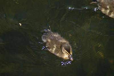 Little quacker