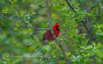 GOT 'EM!!!! Happy Monday! - For those of your who don't know, my arch nemisis, Larry, the cardinal has returned. I've been trying for a couple of years to get a shot of him and my chance came during the weekend. He's insanely skittish so sneaking up on him is the only approach. (Which is exactly what I did). I crawled on all fours, in the rain, through a puddle and crouched next to my car and rattled off a few shots. Naturally my wife rolled up on me as I was shooting....she thinks I've lost my mind