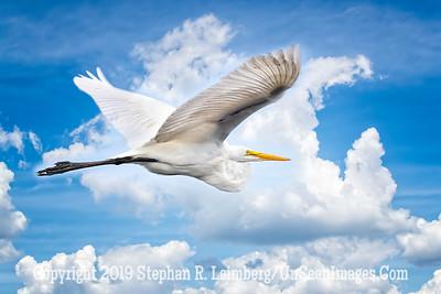 Egret in Flight Copyright 2019 Steve Leimberg UnSeenImages Com _A6I0728