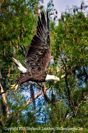 Eagle Taking Off - Copyright 2019 Steve Leimberg UnSeenImages Com _Z2A1818