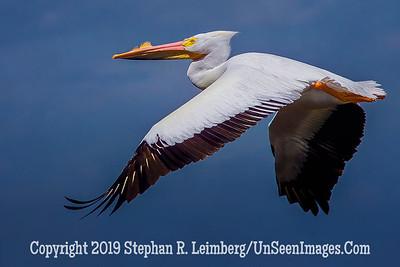 White Pelican - Steve Leimberg - UnSeenImages Com _H1R5870
