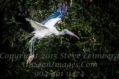 Woodstork in Flight - Copyright 2017 Steve Leimberg UnSeenImages Com _A6I4345