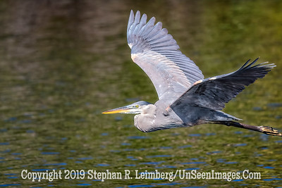 Blue Heron in Flight Copyright 2019 Steve Leimberg UnSeenImages Com _A6I7139