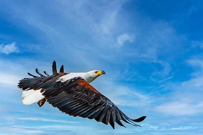 Eagle Kenya Copyright 2020 Steve Leimberg UnSeenImages Com _DSC2136