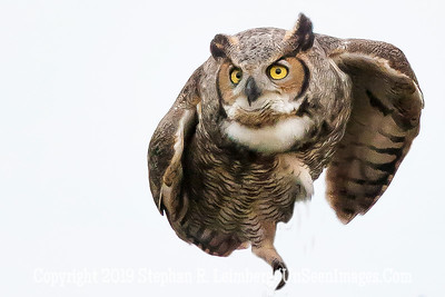Great Horned Owl Taking Flight Up Close Jan 26 2014 Steve Leimberg - UnSeenImages com _H1R0023