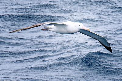 Antarctic Albatross Copyright 2020 Steve Leimberg UnSeenImages Com _DSC8497