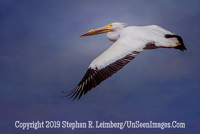 White Pelican in Flight II - Steve Leimberg - UnSeenImges Com _H1R5985-Recovered