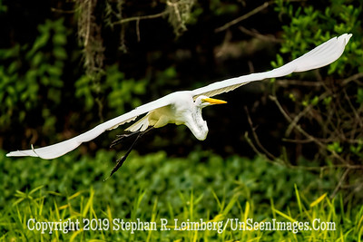 Great Egret in Flight Copyright 2019 Steve Leimberg UnSeenImages Com_A6I0268